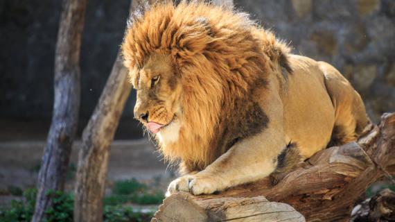 leone zoo di napoli